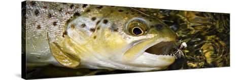 A Dry Fly Caught Brown Trout from a Small Mountain Stream in Utah in Late Summer.-Clint Losee-Stretched Canvas Print