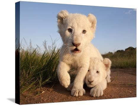 Portrait of Two White Lion Cub Siblings, One Laying Down and One with it's Paw Raised.-Karine Aigner-Stretched Canvas Print