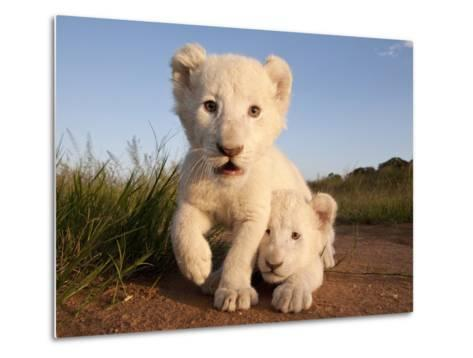 Portrait of Two White Lion Cub Siblings, One Laying Down and One with it's Paw Raised.-Karine Aigner-Metal Print