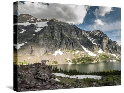 A Mountain Goat in Glacier National Park, Montana.-Steven Gnam-Stretched Canvas Print