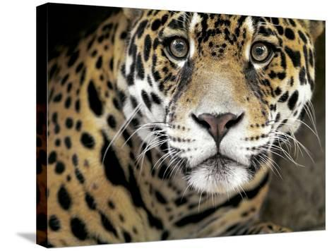 A Jaguar Stares Intensely into the Camera.-Karine Aigner-Stretched Canvas Print
