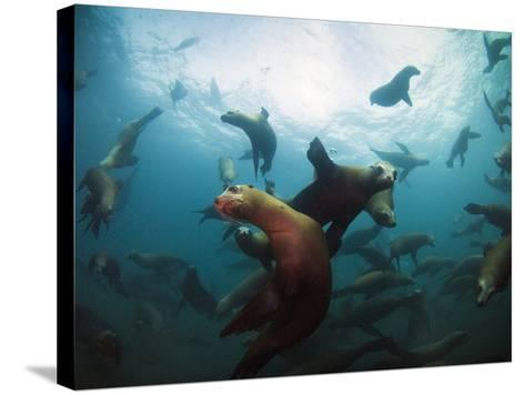 California Sea Lions  Swimming Underwater Off Anacapa Island.-Ian Shive-Stretched Canvas Print