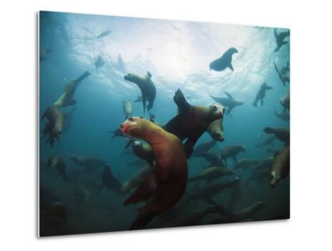 California Sea Lions  Swimming Underwater Off Anacapa Island.-Ian Shive-Metal Print