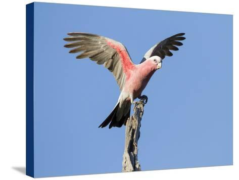A Galah (Eolophus Roseicapilla) Landing in Southwest Australia.-Neil Losin-Stretched Canvas Print