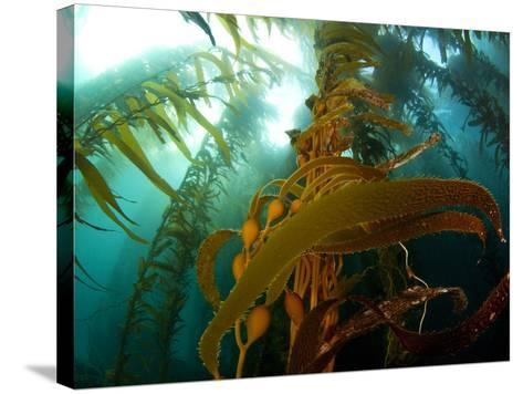 Chanthe View Underwater Off Anacapa Island of a Kelp Forest.-Ian Shive-Stretched Canvas Print