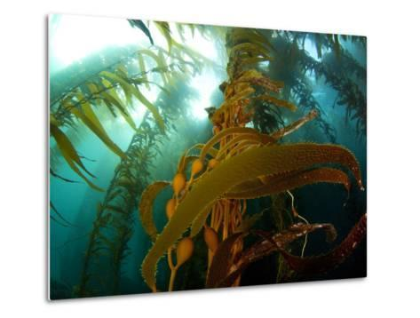 Chanthe View Underwater Off Anacapa Island of a Kelp Forest.-Ian Shive-Metal Print