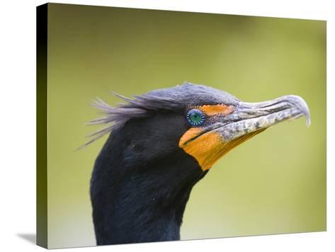 Double Crested Cormorant-Ethan Welty-Stretched Canvas Print
