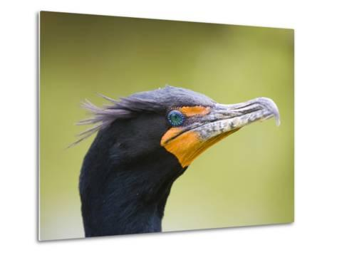 Double Crested Cormorant-Ethan Welty-Metal Print