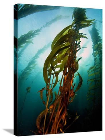 Channel Islands National Park, California: the View Underwater Off Anacapa Island of a Kelp Forest-Ian Shive-Stretched Canvas Print