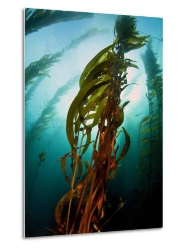 Channel Islands National Park, California: the View Underwater Off Anacapa Island of a Kelp Forest-Ian Shive-Metal Print