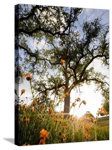 Tollhouse Ranch, Caliente, California: Rolling Green Hills and Oak Trees of the Tollhouse Ranch.-Ian Shive-Stretched Canvas Print