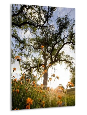 Tollhouse Ranch, Caliente, California: Rolling Green Hills and Oak Trees of the Tollhouse Ranch.-Ian Shive-Metal Print