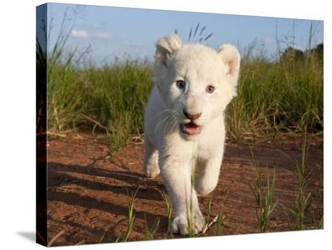 Adorable Portrait of a White Lion Cub Walking and Smiling with Direct Eye Contact.-Karine Aigner-Stretched Canvas Print