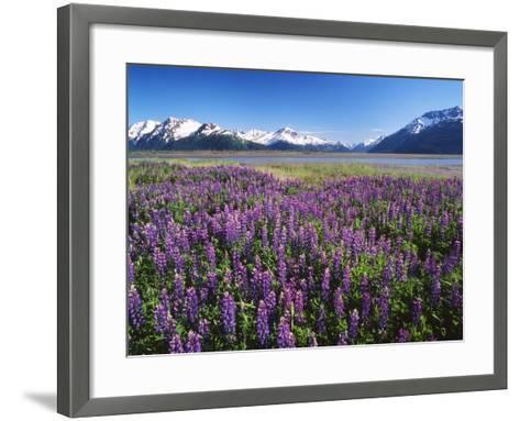 Kenai National Wildlife Refuge, Lupines in Bloom and Kenai Mountains, Alaska, USA-Adam Jones-Framed Art Print