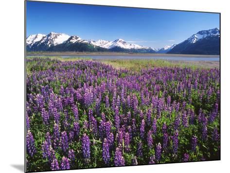 Kenai National Wildlife Refuge, Lupines in Bloom and Kenai Mountains, Alaska, USA-Adam Jones-Mounted Photographic Print