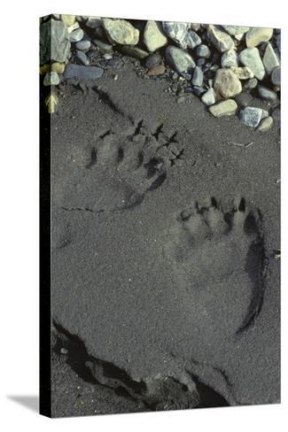 Grizzly Bear Tracks, Denali National Park, Alaska, USA-Gerry Reynolds-Stretched Canvas Print