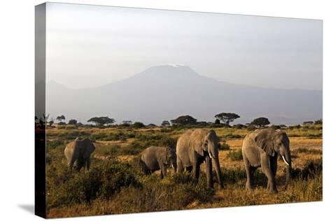 Elephants and Mt Kilimanjaro, Amboseli, Kenya, Africa-Kymri Wilt-Stretched Canvas Print