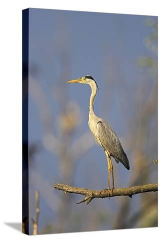 Grey Heron Bird in the Danube Delta, Standing on Willow Tree in Colony, Romania-Martin Zwick-Stretched Canvas Print