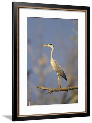 Grey Heron Bird in the Danube Delta, Standing on Willow Tree in Colony, Romania-Martin Zwick-Framed Art Print