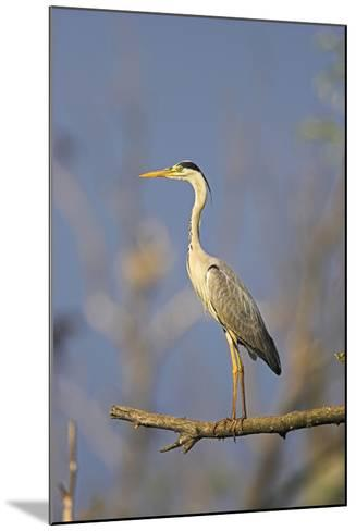 Grey Heron Bird in the Danube Delta, Standing on Willow Tree in Colony, Romania-Martin Zwick-Mounted Photographic Print
