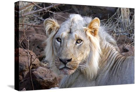Face of Feeding Lion, Meru, Kenya-Kymri Wilt-Stretched Canvas Print