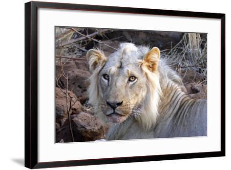Face of Feeding Lion, Meru, Kenya-Kymri Wilt-Framed Art Print