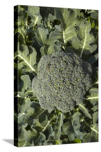 Broccoli Growing in the Garden-David Wall-Stretched Canvas Print