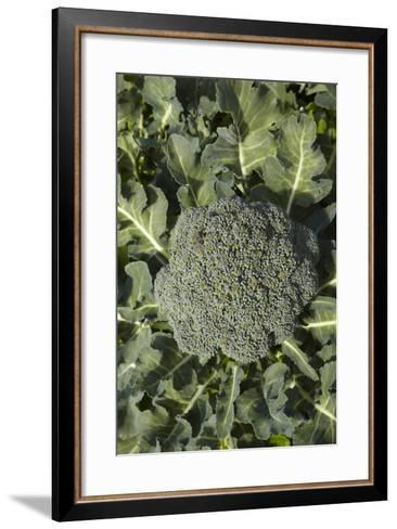 Broccoli Growing in the Garden-David Wall-Framed Art Print