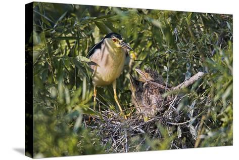 Black-Crowned Night Heron Bird in the Danube Delta, Nest and Chick, Romania-Martin Zwick-Stretched Canvas Print