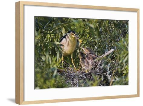 Black-Crowned Night Heron Bird in the Danube Delta, Nest and Chick, Romania-Martin Zwick-Framed Art Print
