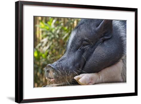 Hog in the Philippines-Keren Su-Framed Art Print