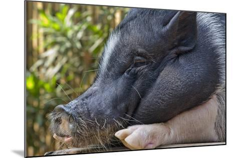 Hog in the Philippines-Keren Su-Mounted Photographic Print