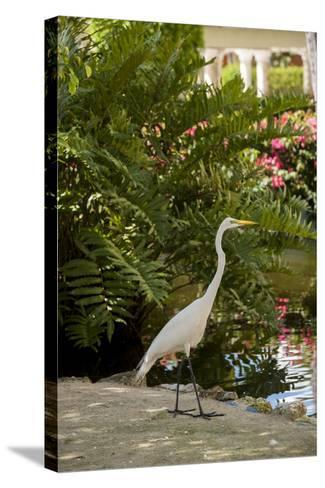 White Egret Tropical Bird, Bavaro, Higuey, Punta Cana, Dominican Republic-Lisa S^ Engelbrecht-Stretched Canvas Print