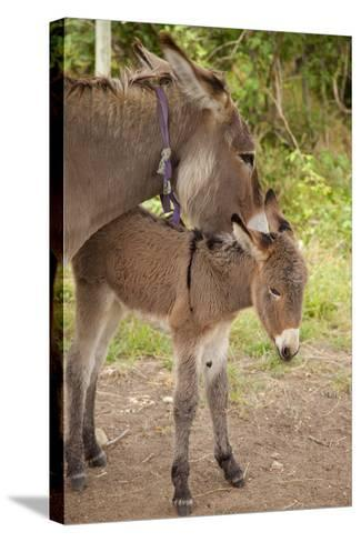 Donkey Mother and Foal-Brian Jannsen-Stretched Canvas Print
