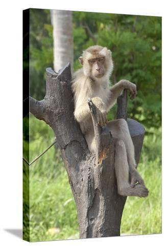Baby Macaque Monkey, Coconut Plantation, Ko Samui, Thailand-Cindy Miller Hopkins-Stretched Canvas Print