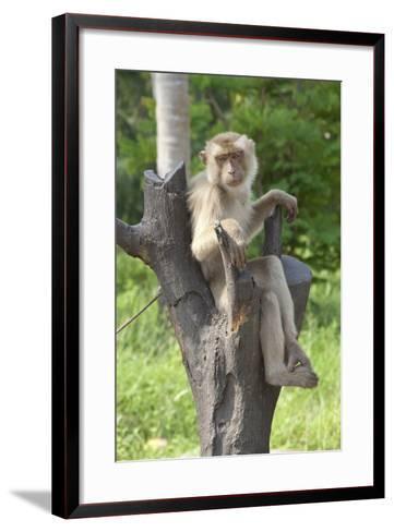 Baby Macaque Monkey, Coconut Plantation, Ko Samui, Thailand-Cindy Miller Hopkins-Framed Art Print