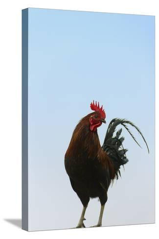 Rooster, Banaue, Ifugao Province, Philippines-Keren Su-Stretched Canvas Print