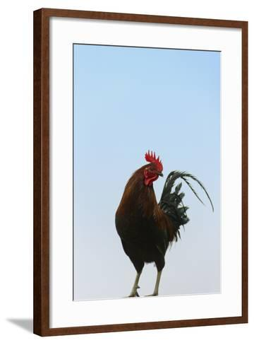 Rooster, Banaue, Ifugao Province, Philippines-Keren Su-Framed Art Print