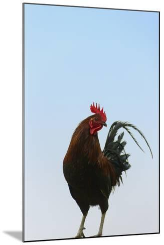Rooster, Banaue, Ifugao Province, Philippines-Keren Su-Mounted Photographic Print