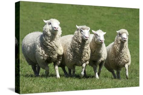 Romney Flock of Sheep, New Zealand-David Noyes-Stretched Canvas Print