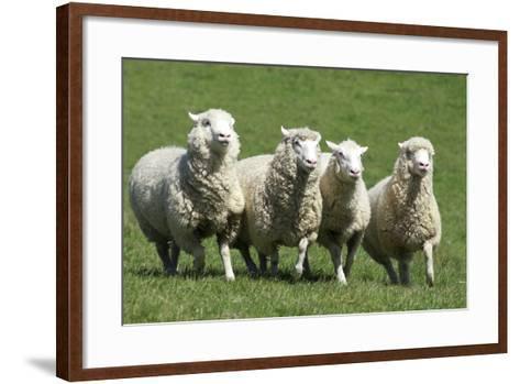 Romney Flock of Sheep, New Zealand-David Noyes-Framed Art Print