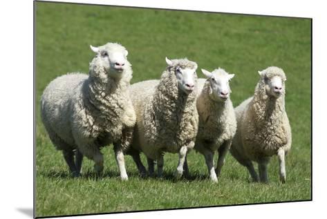 Romney Flock of Sheep, New Zealand-David Noyes-Mounted Photographic Print
