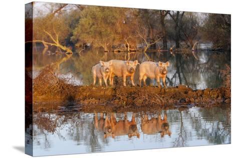 The Pigs of Maliuc, Animals, Danube Delta, Ramsar, Romania-Martin Zwick-Stretched Canvas Print