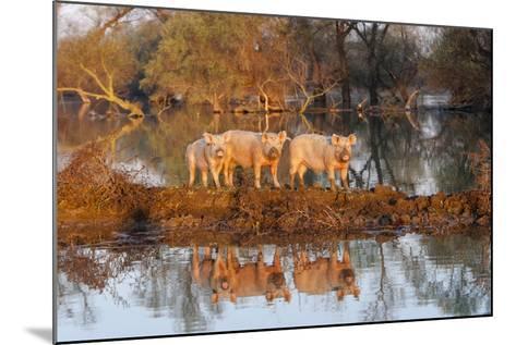 The Pigs of Maliuc, Animals, Danube Delta, Ramsar, Romania-Martin Zwick-Mounted Photographic Print