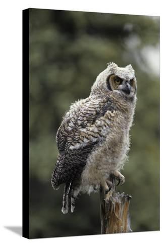 Juvenile Great Horned Owl, Alaska, USA-Gerry Reynolds-Stretched Canvas Print