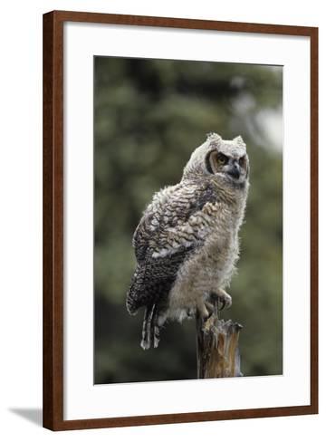 Juvenile Great Horned Owl, Alaska, USA-Gerry Reynolds-Framed Art Print