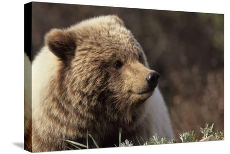 Grizzly Bear, Denali National Park, Alaska, USA-Gerry Reynolds-Stretched Canvas Print