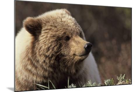 Grizzly Bear, Denali National Park, Alaska, USA-Gerry Reynolds-Mounted Photographic Print
