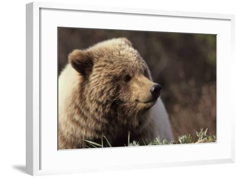 Grizzly Bear, Denali National Park, Alaska, USA-Gerry Reynolds-Framed Art Print