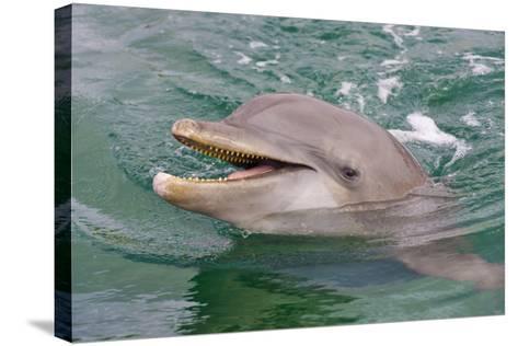 Dolphin in the Ocean, Roatan Island, Honduras-Keren Su-Stretched Canvas Print